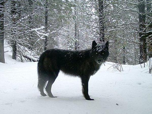 <p>A wolf of the Wenaha Pack captured ona remote camera on U.S. Forest Service land in northern Wallowa County.</p>