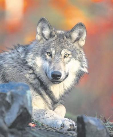 <p>A gray wolf is pictured in this undated file photo.</p>