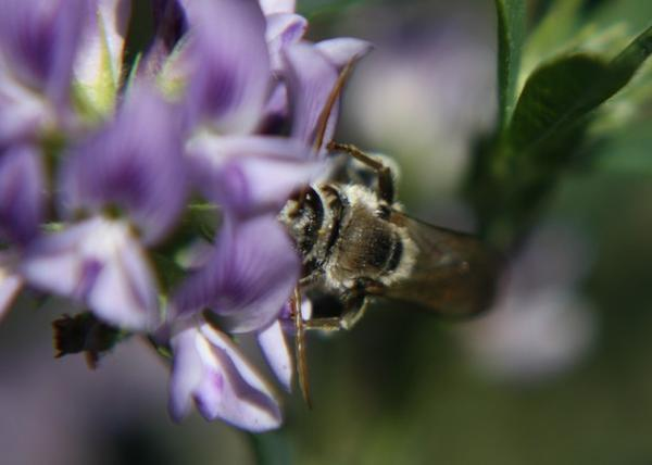 "<p>The alkali bee has to ""trip"" the alfalfa flower's lower petal to access its pollen, receiving a floral bop on the head from the stamen.</p>"