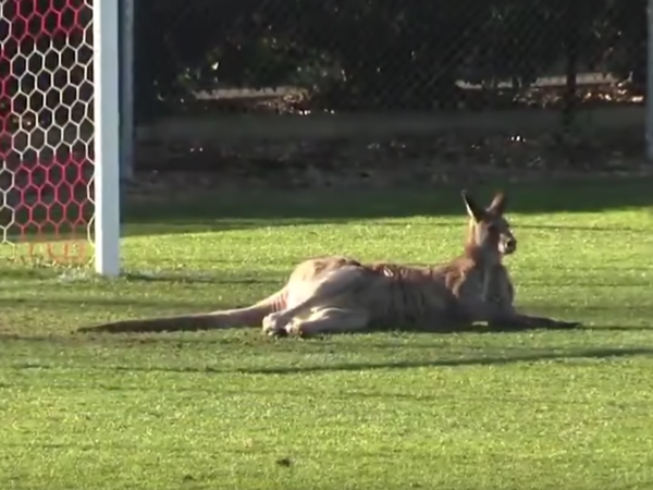 A kangaroo bounded onto on the stadium's soccer field during half-time in a match between Canberra's two top teams — Canberra Football Club and Belconnen United, AP reported.