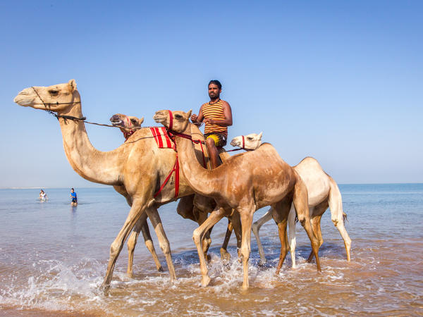 A camel handler rides his beasts out of the water after bathing them to get rid of ticks and fleas.