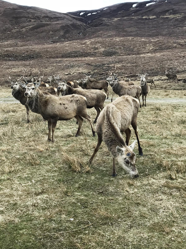 The red deer population is booming in the Scottish Highlands, which makes it hard for the forest to grow.
