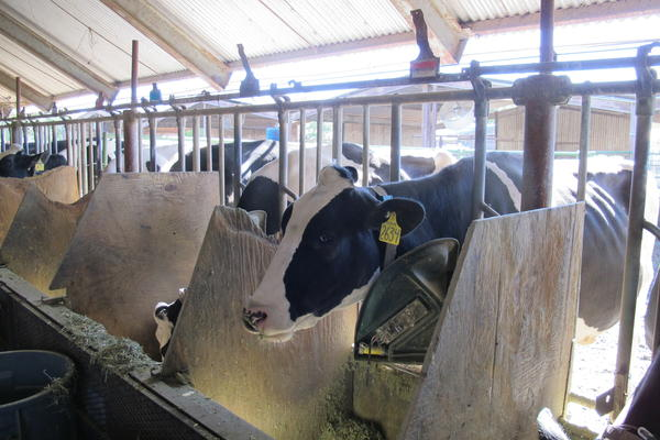 The scientists found a dramatic reduction in methane emissions from the cows that ate seaweed.