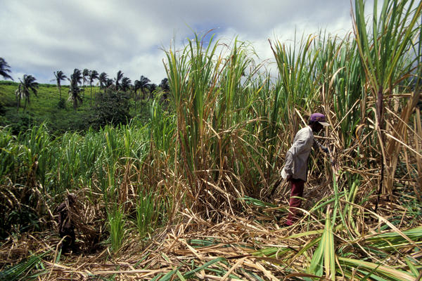 In Guyana, agriculture is the leading industry, and many men cut sugar cane or grow rice. Suicide rates are highest in the country's agricultural villages.