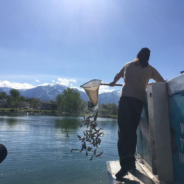 Aquaulturist Ryan Arthur of the Utah Division of Wildlife Resources stocks Willow Pond Park in Murray, Utah. A small crowd watches as he unloads around 1400 Rainbow trout into one of Utah's community fishing ponds.