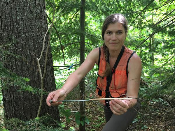 Scientist Alexandra Kosiba shows a core sample from a red spruce that shows strong growth over the last deacde.