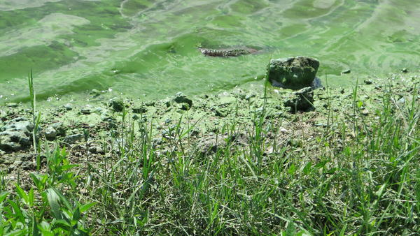 As much as 90 percent of Lake Okeechobee — one of the largest lakes in the U.S. — is covered with algae. The Everglades Foundation in South Florida where the lake is located decided to create a contest with a prize of $10 million for whomever develops a technology that cheaply removes phosphorus, the main culprit in algae blooms, from freshwater bodies.