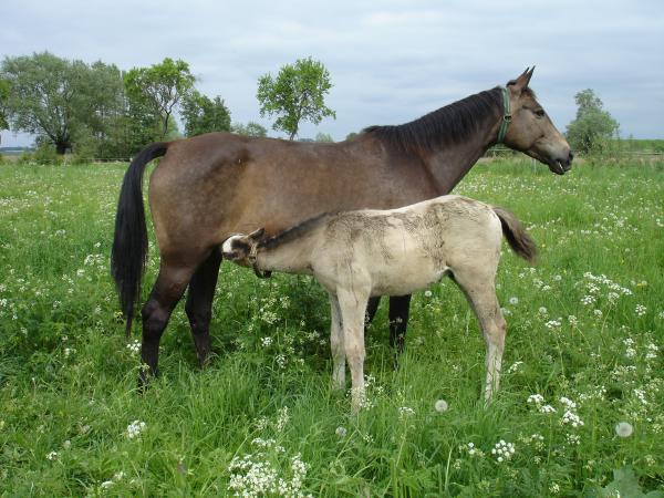 A foal nurses from a mare at the Lindenhof Stud in Brandenburg, Germany. While mare's milk remains a niche product, its reputation as a health elixir is causing trouble for European producers in a more regulated age.