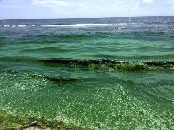 Blue-green algae along the shore of Martin County. Blue-green algae blooms on Florida's Treasure Coast last summer had a devastating impact on the region's tourism, fishing and wildlife.
