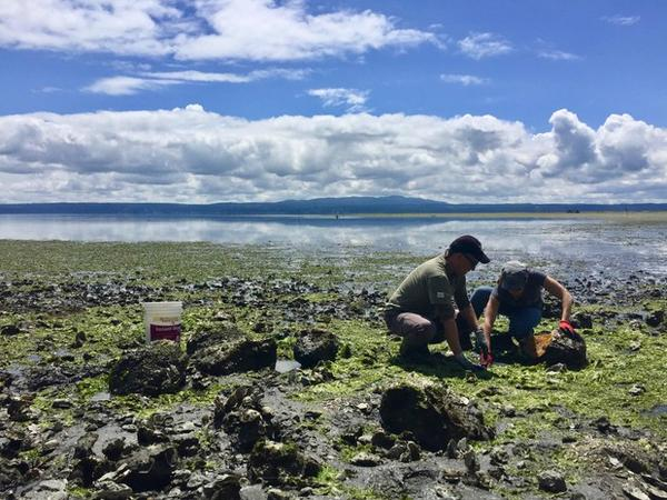 <p>Neuroscientists Joe Sisneros and Allison Coffin search for midshipman fish, also known as 'singing fish,' underneath large rocks on the rocky shores of Hood Canal.</p>