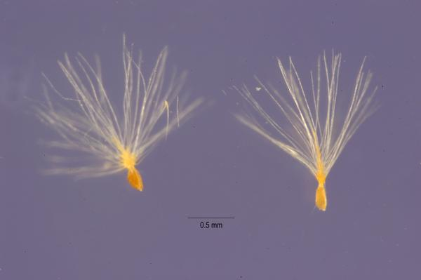 Each tamarisk plant can produce hundreds of thousands of seeds, like these ones from Tamarix pentandra.