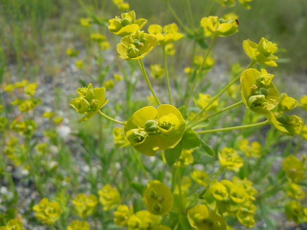 Leafy spurge (Euphorbia esula) is number eight on the Western Governors' Association list of most problematic terrestrial invasive species.