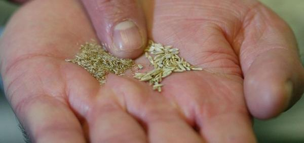 <p>Creeping bent grass, left, and Poe Annua grass seed, right, Thursday, March 25, in Gervais, Oregon.</p>