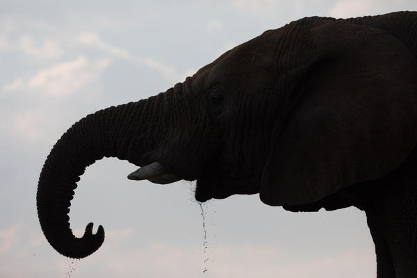 The De Beers Group announced Monday that elephants in South Africa would be relocated to Zinave National Park in Mozambique, where a 15-year civil war decimated the elephant population.