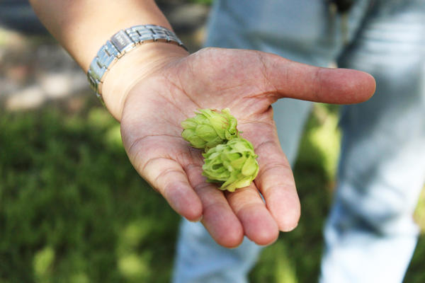 The hops flowers, or cones, are used as the main flavouring agent in beer.