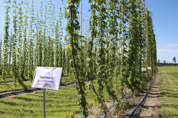 "The hops vines will grow up to about 20 feet tall and then begin to grow outward, eventually forming a wall. At the research farm in Wimauma, they are testing multople strains of hops, including the popular ""Cascade."""