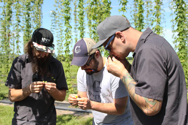 On a recent trip out to the hops farm, brewers from Coppertail and 3 Daughters Brewing judged the quality of some of the hops plants as part of the research project.