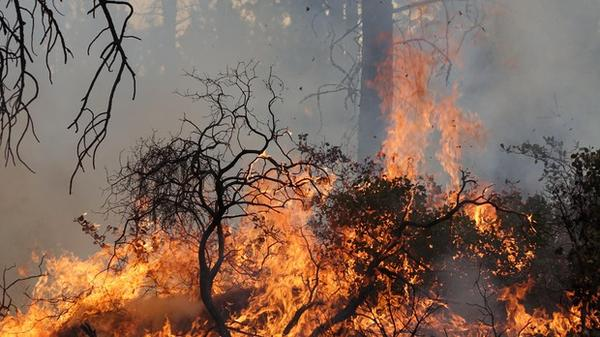 <p>Manzanita and other low brush are targets of some prescribed burns in central Oregon.</p>