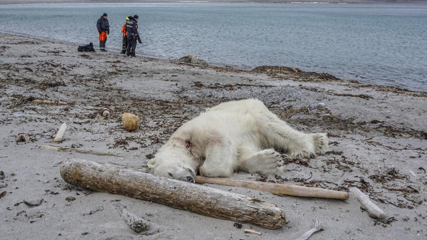 A polar bear attacked and injured a polar bear guard who was leading tourists off a cruise ship on the Svalbard archipelago between mainland Norway and the North Pole. The polar bear was shot dead by another employee, the cruise company said.