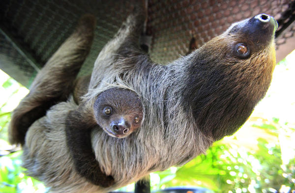 "Humans often look at sloths upside down, Cooke says. Sloths are designed to hang from trees — and ""gravity removes their dignity."" Above, a four-month-old baby sloth hangs onto its mother at the Singapore Zoo."
