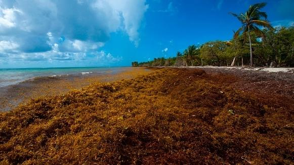 A picture taken in April shows sargassum seaweed on the French Caribbean Island of Guadeloupe.