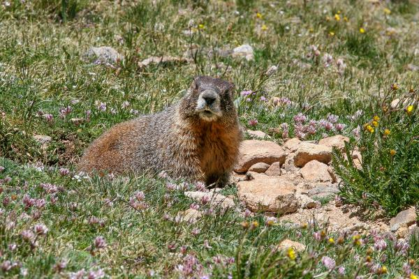 A yellow-bellied marmot keeps an eye out while it gets a bite to eat. Related to groundhogs, yellow-bellied marmots are getting fatter and bigger because of the longer growing season brought on by climate change.