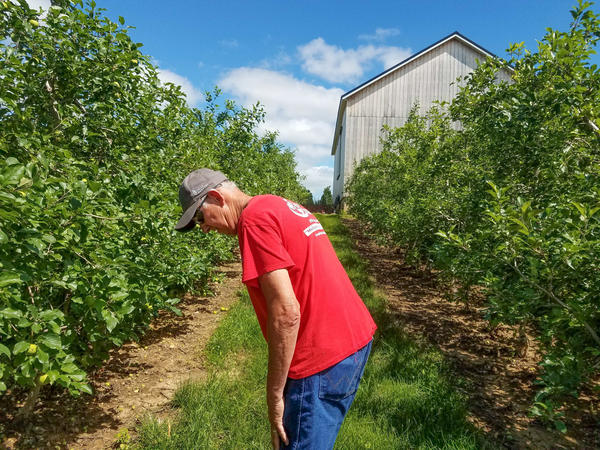 Fourth-generation apple grower Phil Schwallier walks down densely planted rows of apple trees in his orchard in Sparta, Mich.