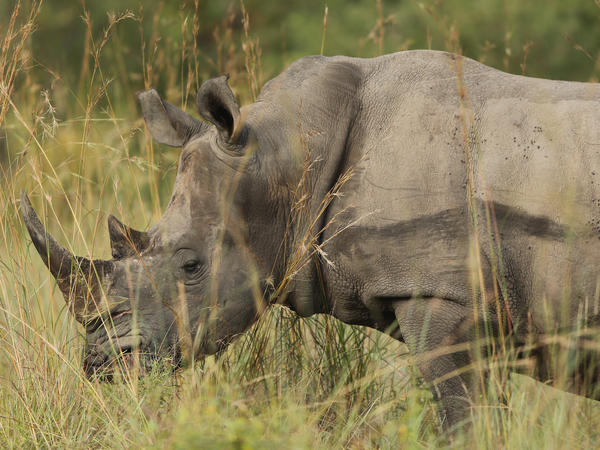 A rhinoceros in South Africa's Kruger National Park in 2013.