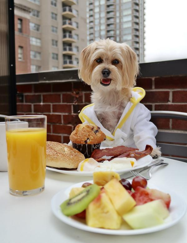 Rambo the Puppy, who has over 300 thousand fans on Facebook, enjoying some room service.