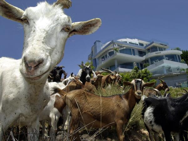Disclaimer: These are not the goats that went on the lam in Boise. But they sure look just as sassy.