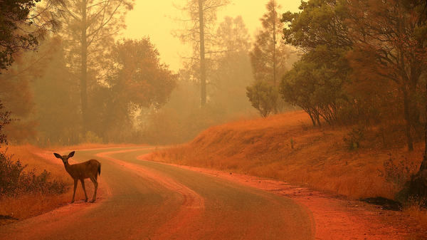 A deer stands on a road covered with fire retardant near Redding, Calif., as the Carr Fire burned in the area on July 28.