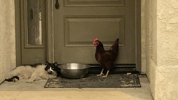 In this photo taken July 28, 2018, provided by the Grass Valley Fire Department, a cat seeking refuge from a raging Northern California wildfire found a fine-feathered friend as it awaited rescue from the heat and flames in Redding, Calif. (Grass Valley Fire Department via AP)