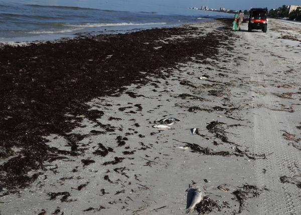 The most severe red tide to hit Florida in more than a decade has left a trail of dead fish, sea turtles, manatees and other marine life along the state's southwest coast.