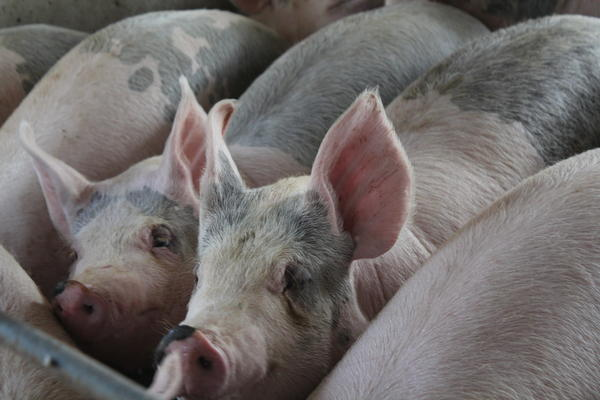 A deadly pig virus found in China could be devastating if it gets to the United States.