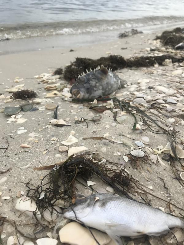 Dead fish lie on the beach on Sanibel Island.