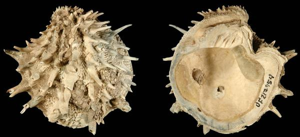 <em>Arcinella cornuta</em> was included in a new study of fossil and extant bivalves and gastropods in the Atlantic Ocean. Researchers found that laziness might be a fruitful strategy for species survival.