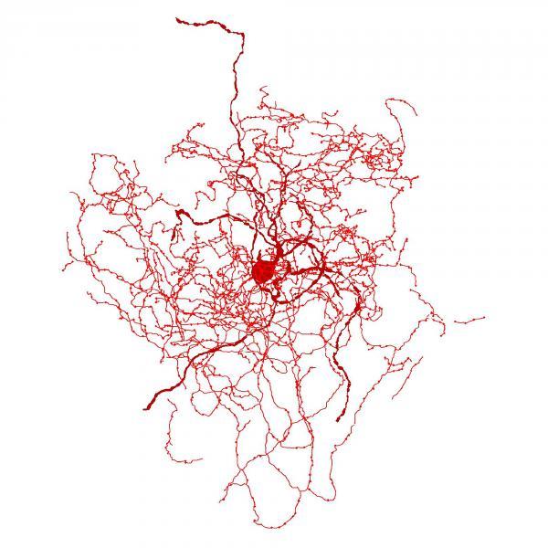 A digital reconstruction of a rosehip neuron.