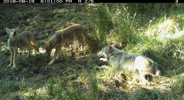 <p>Photo shows the breeding male of White River wolves with two pups, taken Aug. 19 by remote camera on the Warm Springs Indian Reservation. Photo courtesy of Wildlife Department BNR-Confederated Tribes of Warm Springs.</p>