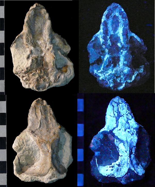 Cifelliodon skull in natural and ultraviolet light