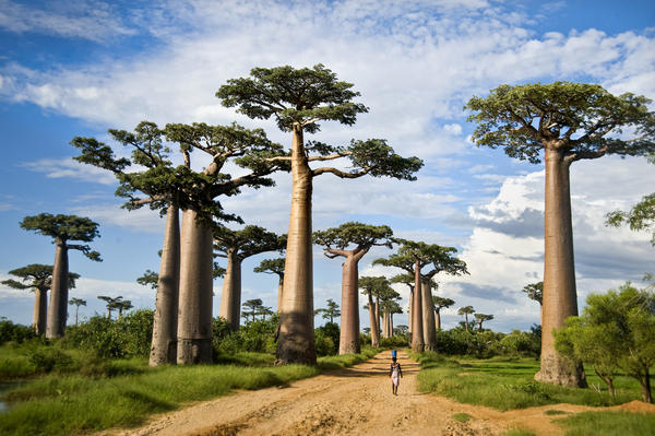 Baobab trees along a dirt road called the Avenue of the Baobabs in Morondava, Madagascar.