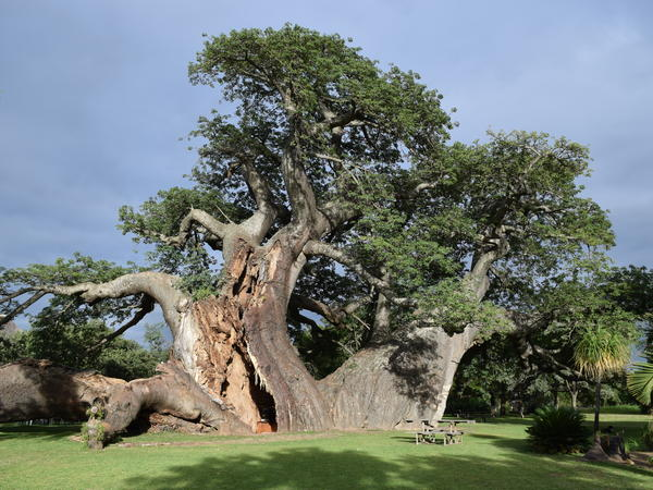 The Platland tree in South Africa was the home of a cocktail bar until it started to split apart.