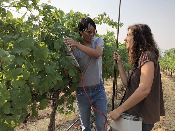 At Washington State University's Irrigated Agriculture Research and Extension Center in Prosser, Wash., Ben-Min Chang and Esther Hernández Montes use a infrared gas analyzer to see how wine grape vines are responding to the smoky conditions in the Northwest.
