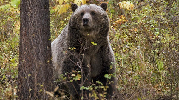 A sow grizzly bear spotted near Camas in northwestern Montana. Wildlife officials endorsed a plan in August to keep northwestern Montana's grizzly population at roughly 1,000 bears as the state seeks to bolster its case that lifting federal protections will not lead to the bruins' demise.