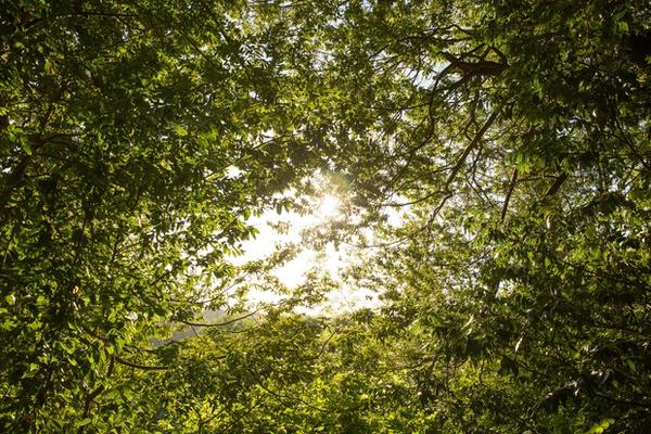 <p>The sun pokes through the canopy of an Oregon myrtle grove at Hoffman Memorial State Wayside, south of Myrtle Point, Oregon.</p>