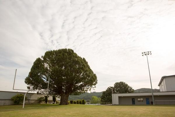 <p>A large Oregon myrtle tree grows in the end zone at Myrtle Point High School in Myrtle Point, Oregon.</p>
