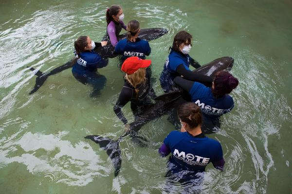 Employees at Mote Marine Laboratory assist Thunder and Lightning, a pair of pygmy killer whales that were found distressed in shallow waters off Sand Key Aug. 29. Both whales died this week.