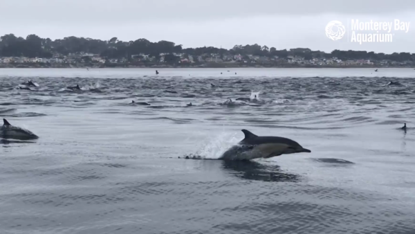 "A ""superpod"" of dolphins was spotted swimming in California's Monterey Bay this week."