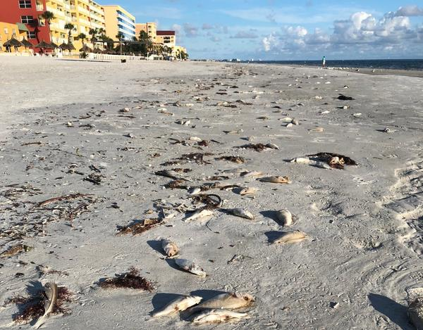 Dead fish killed by red tide wash up onto North Redington Beach in Pinellas County. This is the first time that red tide has affected the Tampa Bay area since the outbreak began in 2017.