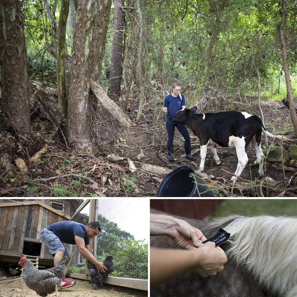 (Top) Tiffany Breindel, program director at 1870 Farm, prepares to put an identification tag in calf Romeo's tail the day before Hurricane Florence hits Chapel Hill, N.C. (Left) Luis Morales catches chickens to put them in the coop before they board it up. (Right) Breindel attaches an identification tag to a horse's mane.