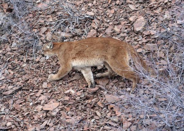 <p>This March 8, 2006, file photo provided by the Oregon Department of Fish and Wildlife shows a cougar in the Beulah Wildlife Management Unit in Oregon's Malheur County.</p>